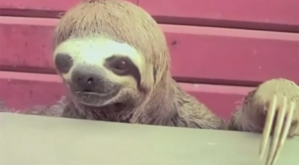 Endangered sloth turns up in a very unexpected place