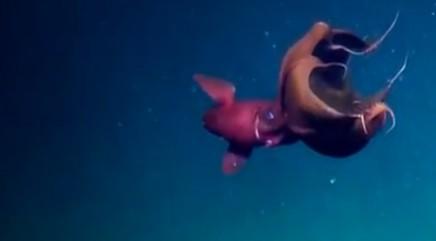 Rare footage of vampire squid captured