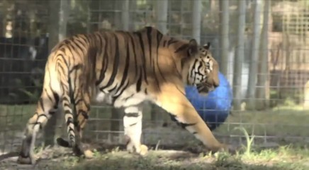Abused tiger rescued from circus after a lifetime of misery