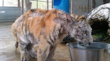 Sickly tiger rescued from traveling circus is totally transformed by love