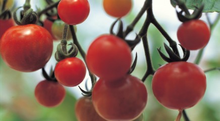 Tips for growing tomatoes on a vine