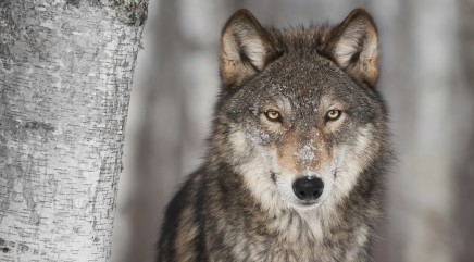 Wolves communicate with their eyes