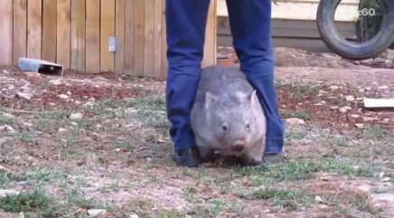 Affectionate wombat goes crazy if you stop petting her