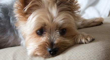 Little Yorkie reverses dog-human relationship