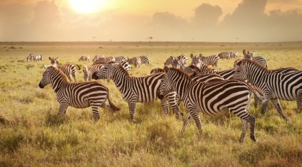 Zebra herd's amazing journey through Africa