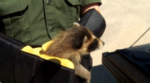 3 baby raccoons rescued, sent to rehab service