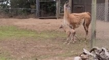 San Francisco Zoo welcomes an adorable baby guanaco