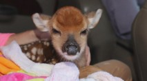Tiny fawn cracks a smile after being rescued from La. floodwaters