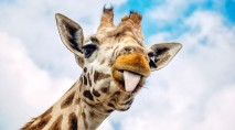 Hungry giraffes stun tourists with bold act
