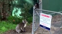 Koala mom rescues her tiny baby from awkward predicament