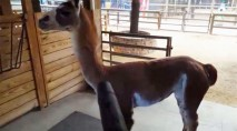This adorable llama playing with a leaf blower will make you smile