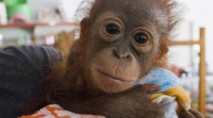 Orphaned baby orangutan who survived gunshot goes to 'school'