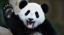 Famous pandas mark major milestones