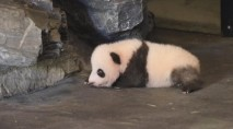Tiny panda cub takes his wobbly first steps