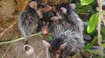 Adorable opossums find very unlikely surrogate mother